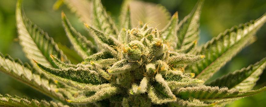 Sonnen-Apotheke Hilden: Cannabis auf Rezept kann Schmerzen lindern